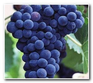 чем_полезен_виноград_chem_polezen_vinograd_2
