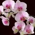Орхидея в доме или как цветет любовь