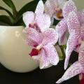 Орхидея – стильный, шикарный цветок